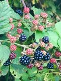 Wild berry. Beautiful colored wild berry, real tasty near the forest. True taste of the mother nature Stock Photos