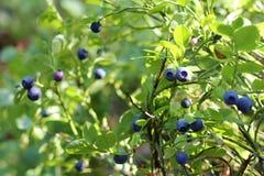 Wild berry blueberries Stock Photography