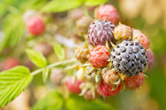 Wild berry Stock Images