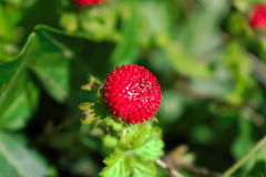 Wild Berry. Closeup of a wild red berry Royalty Free Stock Photo