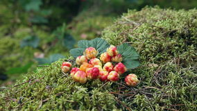 Wild Berry cloudberries stock footage