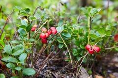 Wild berry cranberries. Closeup of Vaccinium vitis-idaea on the ground. Lingonberries. Berries of wild cowberry royalty free stock photo