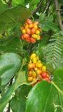 Wild berry Stock Images