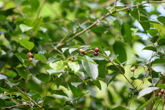 Wild berry. Fruit of banyan tree are favorite for birds Stock Photos