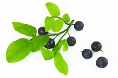 Wild berry fruits. Huckleberries on the branch, white background Royalty Free Stock Photos