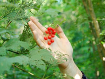 Wild berry in hand. Wild red berry in woman hand on green background Stock Images