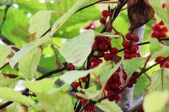Wild berry lemongrass Royalty Free Stock Photography