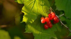 Wild berry Stock Photos