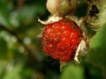 Wild berry Royalty Free Stock Image