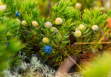 Wild berry. Wild berry Sakhalin Royalty Free Stock Images