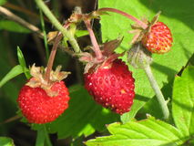 Wild berry strawberry. Ripe berries of wild strawberry Royalty Free Stock Images