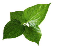 Wild betal leaves Stock Images