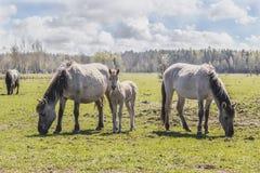 wild betande hästar Fotografering för Bildbyråer