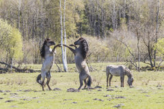 wild betande hästar Royaltyfri Foto