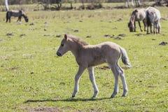 wild betande hästar Royaltyfria Foton