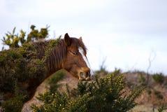 wild betande ponny Royaltyfri Fotografi