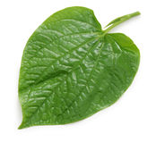 Wild betel, la lot, piper lolot, lolot pepper, piper sarmentosum Stock Photography