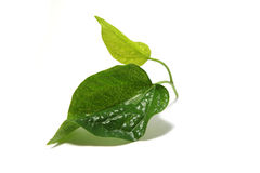 Wild Betel Leafbush. Food ingredients and procedures vietnamese Meatball Wraps Nam Neung with rice paper rolls stock images