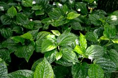 Wild betel Stock Photos