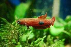 Wild betta Stock Photography