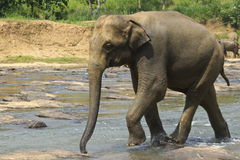 Wild big elephants come  in water Royalty Free Stock Photography