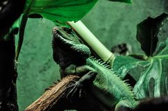 Wild big gecko, iguana reptile. View from bottom on wild big gecko, iguana. Reptile animal on tree branch stock photography