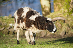 Wild big horn sheep ram Stock Photo