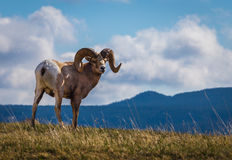 Wild Big Horn Sheep in Southern Alberta. Captured on a hill top in Waterton National Park in Alberta Canada Royalty Free Stock Images