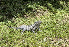 Wild big lizard. In Key Biscane Royalty Free Stock Photography