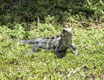 Wild big lizard. In Key Biscane Stock Images