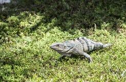 Wild big lizard Stock Photography