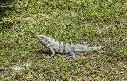 Wild big lizard Royalty Free Stock Photo