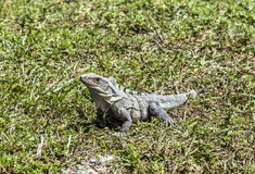 Wild big lizard Royalty Free Stock Images