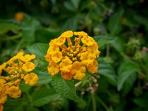 Wild big sage flowers - closeup shot stock photography
