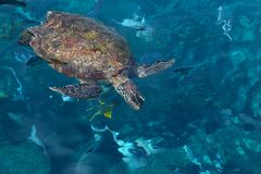 Wild big sea turtle in Andaman sea Stock Photo
