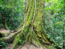 Big Tree in Bukit Lawang, Indonesia. A wild Big Tree in Bukit Lawang, Gunung Leuser National Park. You will have the unique chance to view wild orangutans in Royalty Free Stock Photography