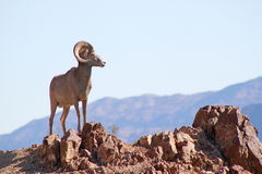 Wild Bighorn Sheep royalty free stock image