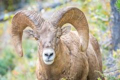Wild Bighorn Sheep looking into camera. A wild bighorn sheep with large rams looking into the camera Royalty Free Stock Image
