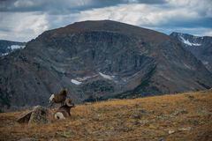 Wild Bighorn Sheep Ovis Canadensis Rocky Mountain Colorado Stock Photos