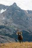 Wild Bighorn sheep Ovis canadensis Rocky Mountain Colorado Stock Photography
