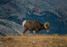 Wild Bighorn sheep Ovis canadensis Rocky Mountain Colorado royalty free stock photo