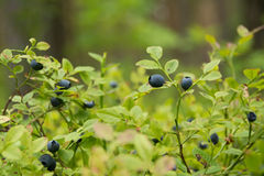 Wild bilberries Stock Image