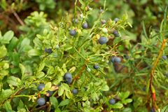 Wild bilberry bush Stock Image