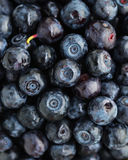 Wild Bilberry Stock Images