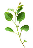 Wild bindweed leaves Royalty Free Stock Photo