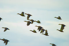 Wild bird. Flying wild birds in the sky near a small lake stock photo