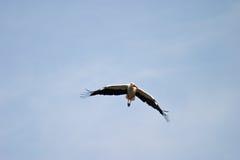 Wild bird. Flighting wild bird on sky near samall lake royalty free stock photography