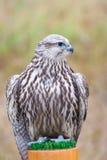 Wild bird. Wild hunter bird on meadow stock photos