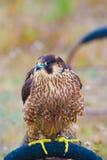 Wild bird. Wild hunter bird on meadow stock photography