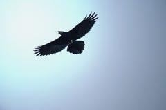 Wild bird. Flighting wild bird on blue sky in sunny day royalty free stock photography